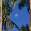 Palm trees with the moon — Stock Photo