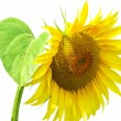 Sunflower flower isolated — Stock Photo