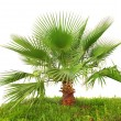 Palm tree on green grass isolated — Stock Photo