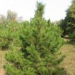 Pine tree in the forest - Stock Photo