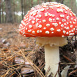 Fly agaric mushroom — Stock Photo