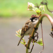 Sparrow bird on the grapes branch — Stock Photo