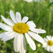 Stock Photo: Beautiful Chamomile, daisy wildflower