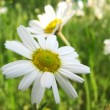 Stock Photo: Chamomile wildflower on green