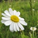 Chamomile wildflowers on meadow — Stock Photo #1621946