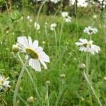 Chamomile wildflowers on meadow — Stock Photo #1621967