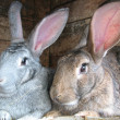 Grey and brown rabbits - Stock Photo