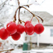 Red viburnum berry on frost — Stock Photo