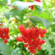 Red viburnum berry - Photo