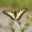 Yellow machaon butterfly - Stock Photo
