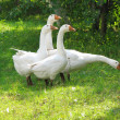 White geese on the green grass — Foto Stock