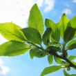 Tree branch with green leaves — Stockfoto