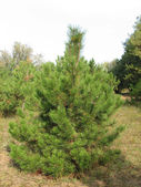 Pine tree in the forest — Stock Photo