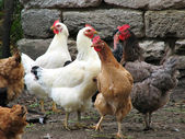 Funny hens on the poultry farm — Stock Photo