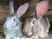 Grey and brown rabbits — Stock Photo