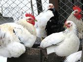 Young roosters and chickens — Stock Photo
