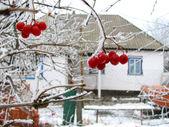 Viburnum baies sur gel et la maison — Photo