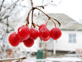 Red viburnum berry on frost — 图库照片