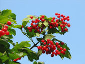 Red viburnum berry — Photo