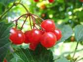 Red viburnum berry — 图库照片