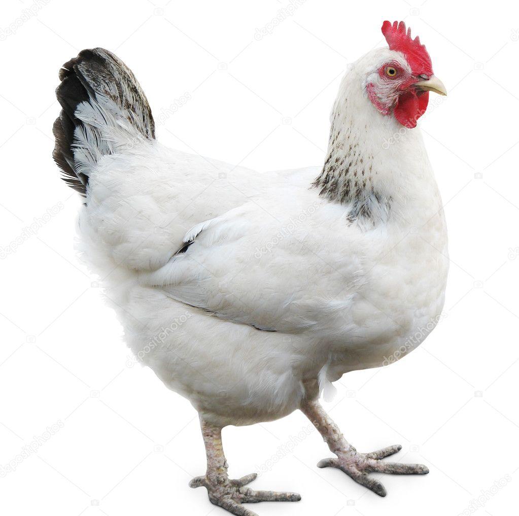 Hen on white background White Hen