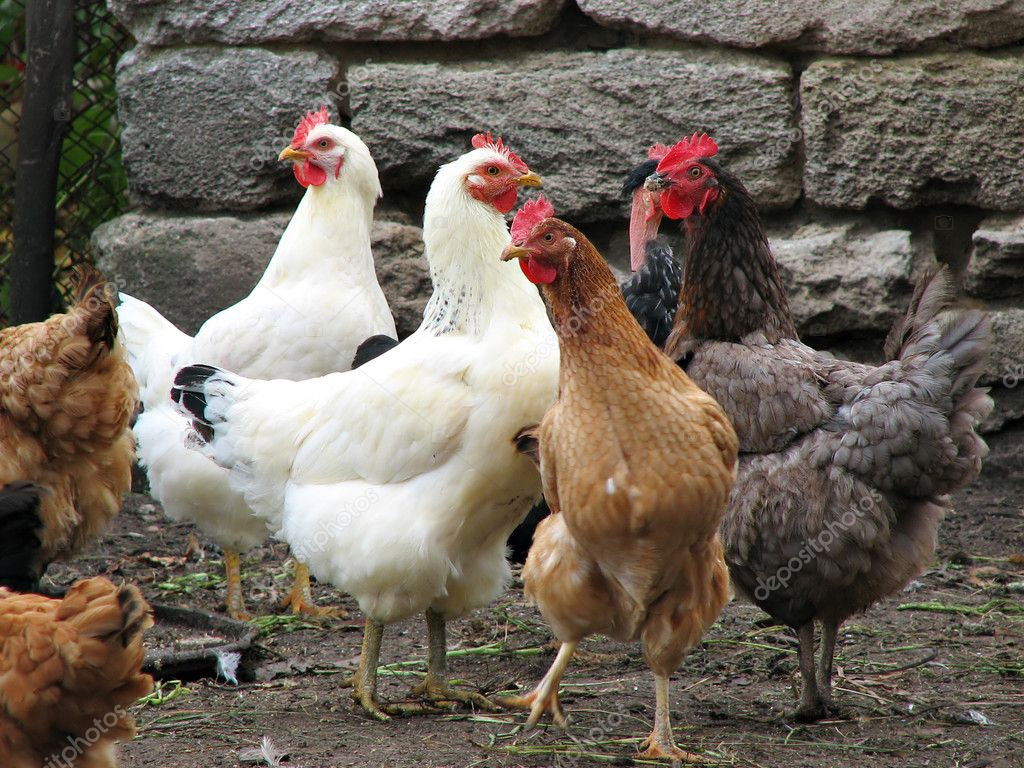 Many young hens on the poultry farm — Stock Photo #1622600