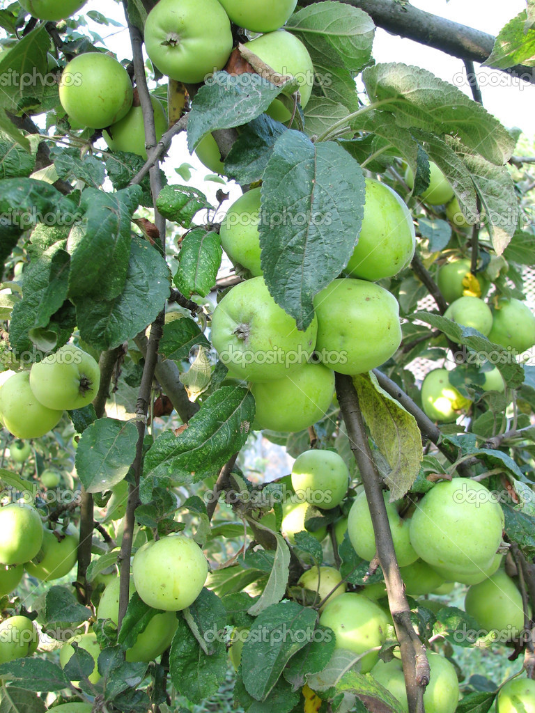 green apples on tree  u2014 stock photo  u00a9 liliya  1627984