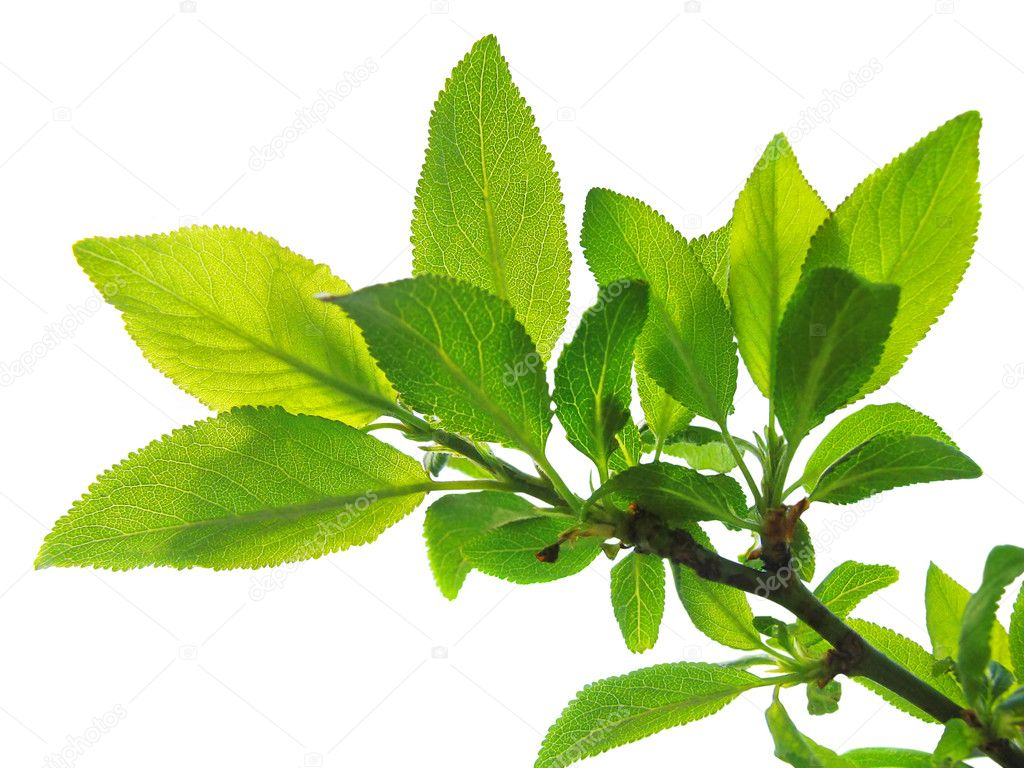 Tree branch with green leaves isolated  Stock Photo #1629110