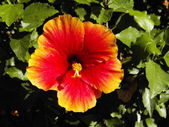 Red Yellow flower Thailand — Stock Photo