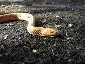 Snake on back gounde — Stock Photo