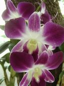 Orchide in Thailand — Stock Photo
