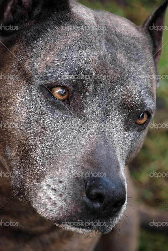 Sad American Staffordshire terrier — Stock Photo #1788298