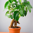 Bonsai Ficus Tree — Stock Photo