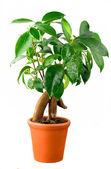 Bonsai Ficus Tree — Stock Photo