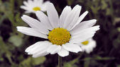 Chamomile in Winter — Stock Photo