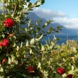 Royalty-Free Stock Photo: Apple-tree on a fjord coast