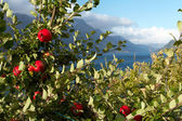 Apple-tree on a fjord coast — Stock Photo