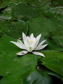 Water-lily — Stock Photo