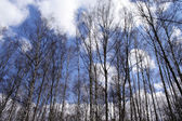 Russian forest. birches — Stock Photo