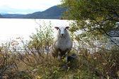 Ewe — Stock Photo
