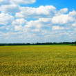 Golden wheat field with blue cloudy sky — Stock Photo #1887773