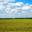 Golden wheat field with blue cloudy sky - Stock Photo