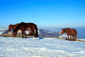 Horses on a snowed pasture — Stock Photo