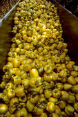 Harvesting Bin of Yellow Bell Peppers — Stock Photo