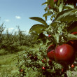 Stock Photo: Red Empire apples in orchard