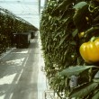 Stock Photo: Yellow bell pepper hanging on vine