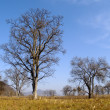 Lonely old elm in autumn — Stock Photo #1665586