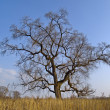 Lonely old elm in autumn — Stock Photo #1666012