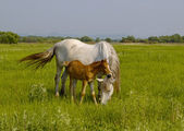 Horse with a foal on a meadow — Stock Photo