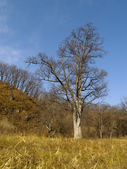Lonely old elm in the autumn — Stock Photo